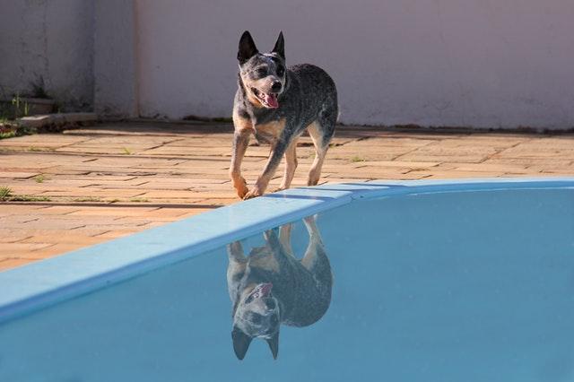 Australian Cattle Dog – pies z Mad Maxa